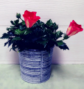 Hibiscus Blooming Plant Colors May Vary
