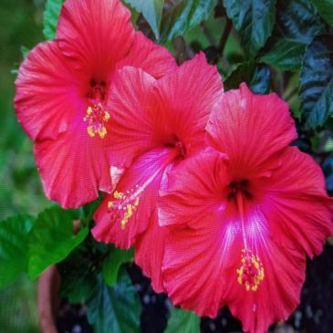 Hibiscus Tree Outdoor/Indoor