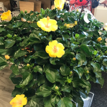 Hibiscus Bush Patio Plant