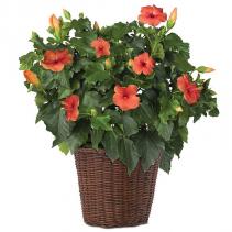 Hibiscus Bush Plant