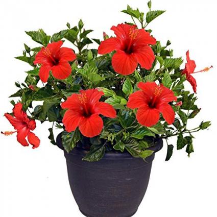 Hibiscus Plant Plant