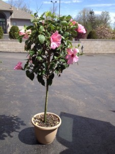 Hibiscus Tree In Youngstown Oh Blooming Crazy Flowers And Gifts