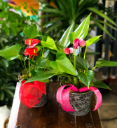 His and Hers Anthurium Set  Plant