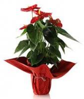 Holiday anthurium plant Christmas