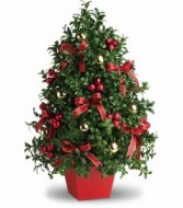 Holiday Boxwood Trees