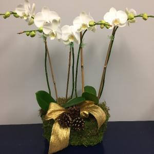 Holiday Orchid Arrangement  in Darien, CT | DARIEN FLOWERS