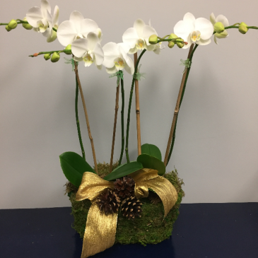 Holiday Orchid Arrangement