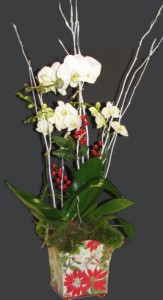 Holiday Orchid trio Plants