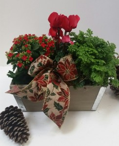 Holiday Plant Box plants in Northport, NY | Hengstenberg's Florist