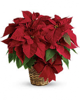 Holiday Poinsettia Christmas Plant