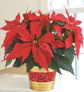 Holiday Poinsettia Plant Holiday Arrangement