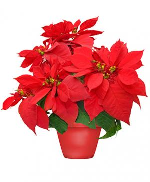 Holiday Poinsettia Blooming Plant in Peterborough, ON | PAMMETT'S FLOWER SHOP