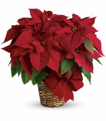 Holiday Red Poinsettia