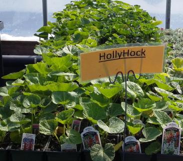 Hollyhock Perennial - Full sun - light shade