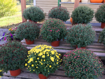 Home Grown MUMs! Fall Greenhouse