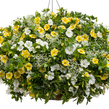 "Honeybee- 12"" Hanging Basket Petunia's and annuals"
