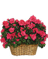 HOT PINK AZALEA BASKET Flowering Plants