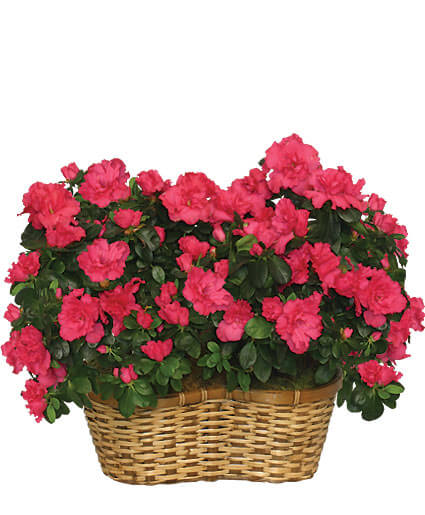 HOT PINK AZALEA BASKET Flowering Plants