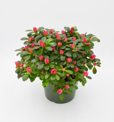Hot Pink Azalea Outdoor Flowering Shrub