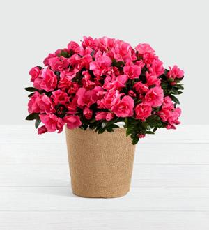 Hot Pink Azalea Plant .WGP1452-N