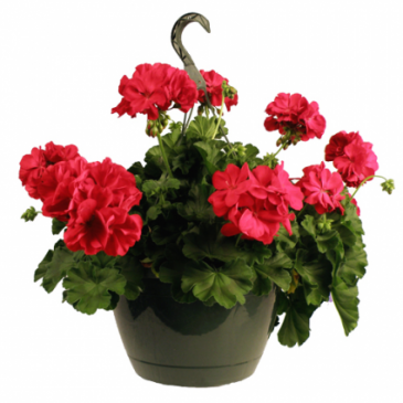 Hot Pink Geranium Hanging Basket