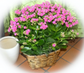 Hot Pink Kalanchoe Blooming Plant