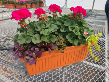 Hot Pink Patio Box