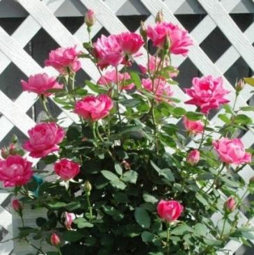 Hot pink rose bush Plant