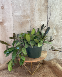 Hoya Publiclyx Plant