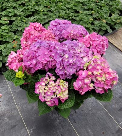 HUGE Hydrangea Plant Outdoor Plant