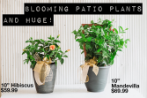 Huge Mother's Day Blooming Patio Plant