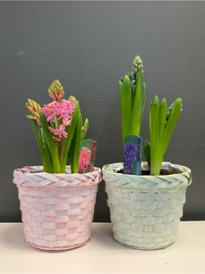 Hyacinth  in Winnipeg, MB | KINGS FLORIST LTD