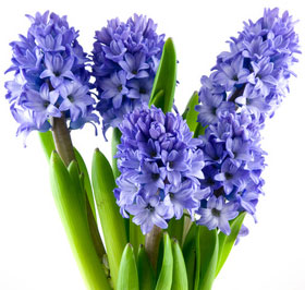 Hyacinth Bulbs Blooming Plant
