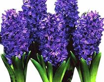 Hyacinth Plant