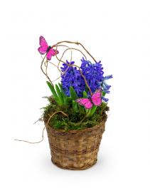 Hyacinth Plant in Basket Plant