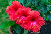 Hybiscus Plant