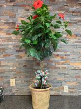 Hybiscus Tree Plant