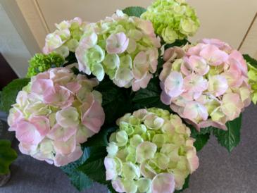 "Hydrangea 6""pot size Plant"