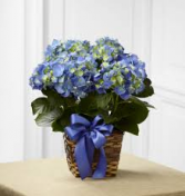 Hydrangea basket potted COLORS WILL VARY