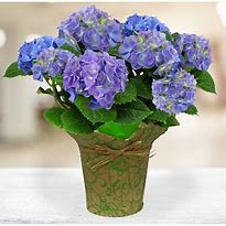 Hydrangea Blooming Plant in Osage, IA | Osage Floral & Gifts
