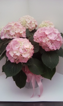 Hydrangea dream Blooming Hydrangea plant