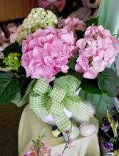 Hydrangea Flowering Plant