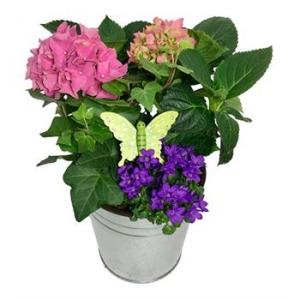 Hydrangea  garden planter Plant in Chatham, NJ | SUNNYWOODS FLORIST