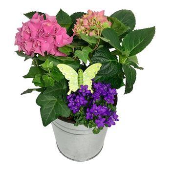 Hydrangea  garden planter Plant