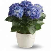 Blooming Hydrangea Flowering Plant
