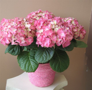 Hydrangea Plant  in Selma, NC | SELMA FLOWER SHOP
