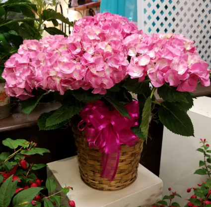 Hydrangea in a pot (NOT A BASKET) (COLORS WILL VARY)