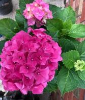 Hydrangea Plant in Basket