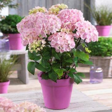 Large Pink Hydrangea Plant