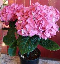 Hydrangea Plant Blooming Plant